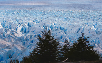 Trees growing on the glacier Perito Moreno